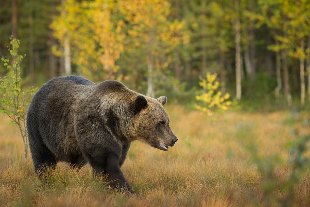 Brown bear photography tour Finland-10.jpg