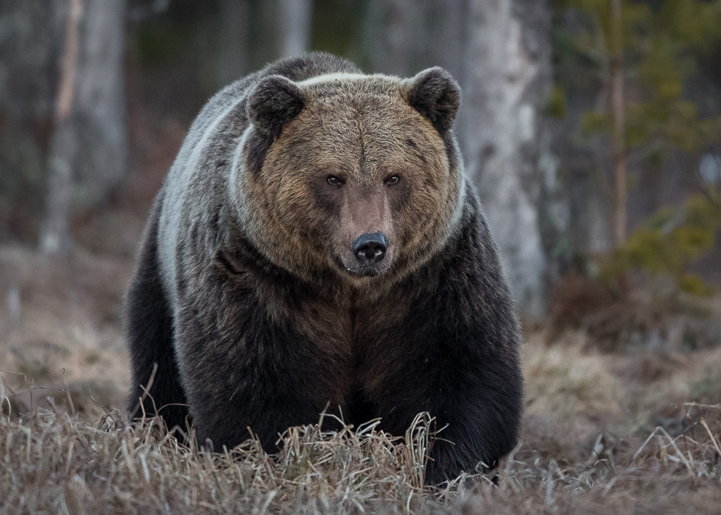 Brown bear photography tour Finland-6.jpg