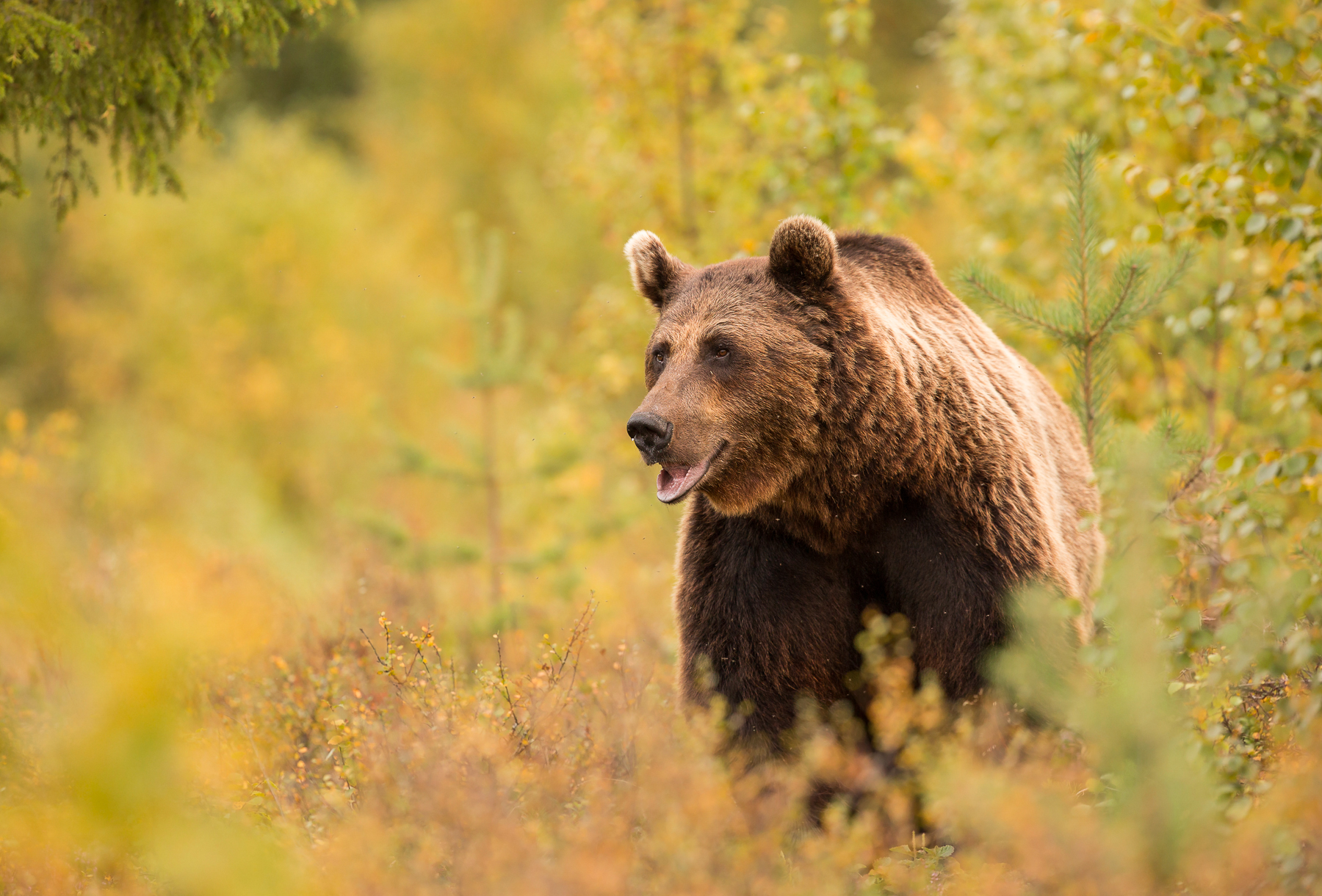 Brown Bear Photography Tour Autumn-5.jpg