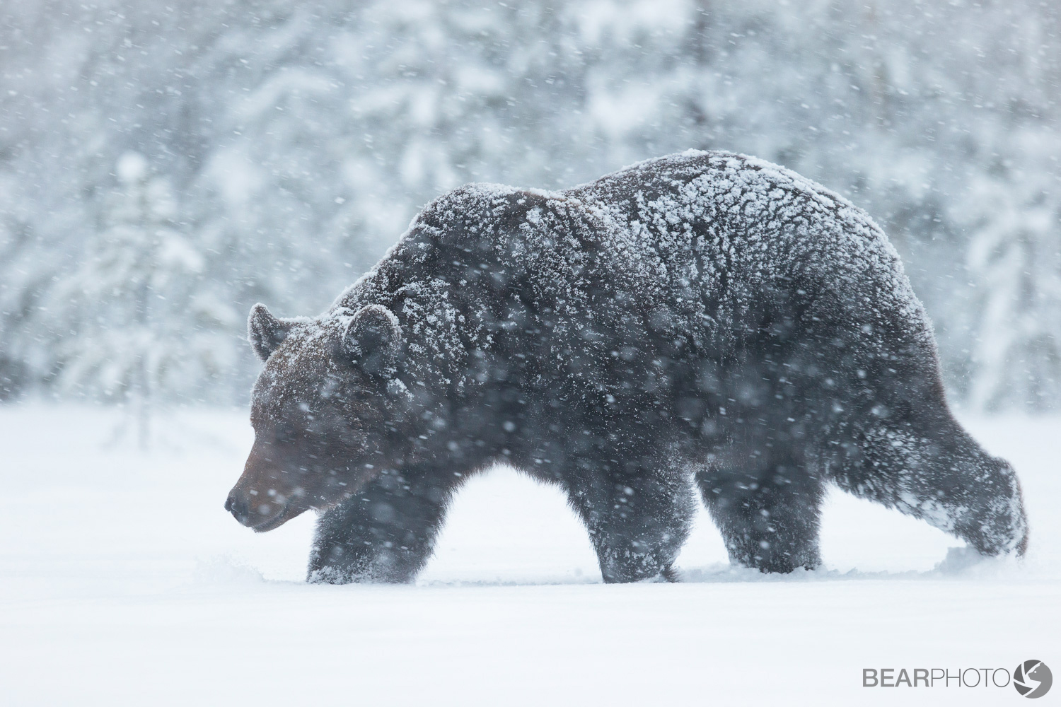 Bear Photography Tours in Finland