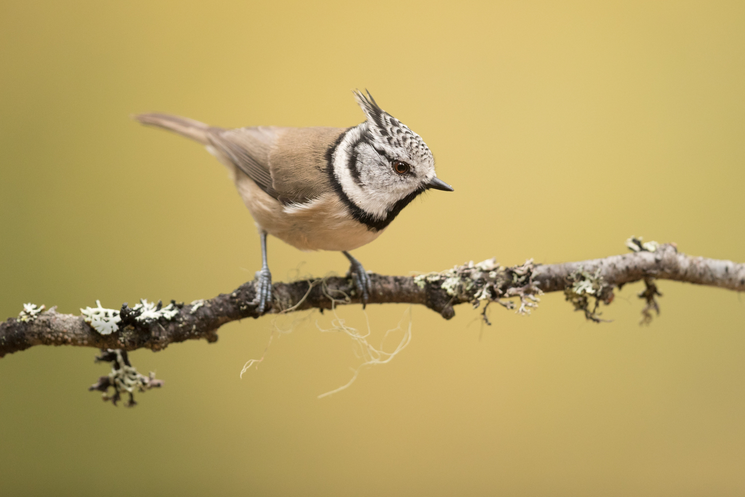 Crested_Tit_MG_0412-2.jpg