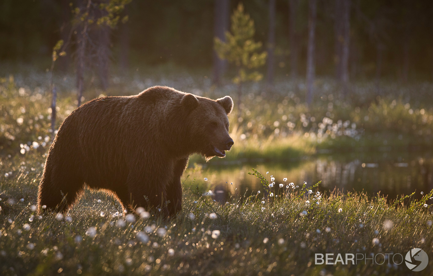 One of Finland's largest Brown Bears passes beside the Western lake in stunning midsummer sunlight.