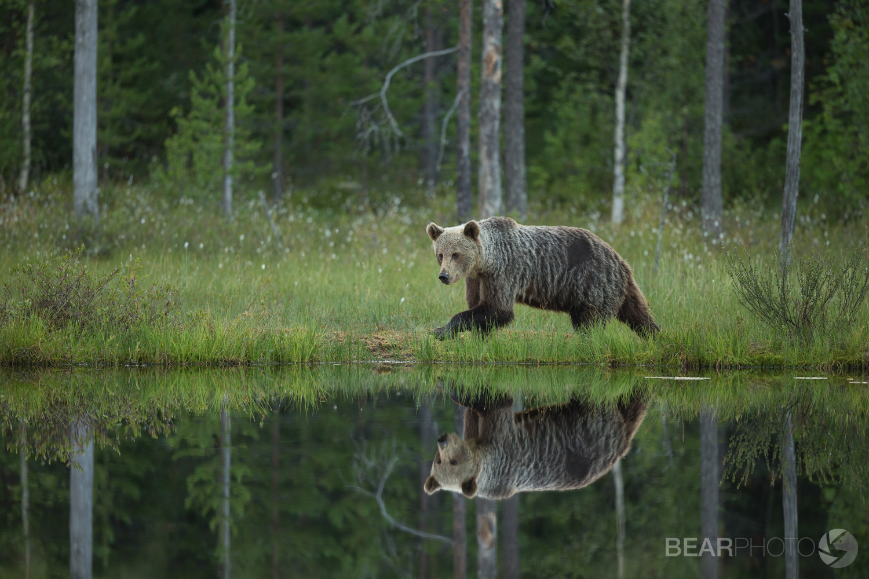 Mirror like reflections of a Brown Bear circumnavigating the lake.