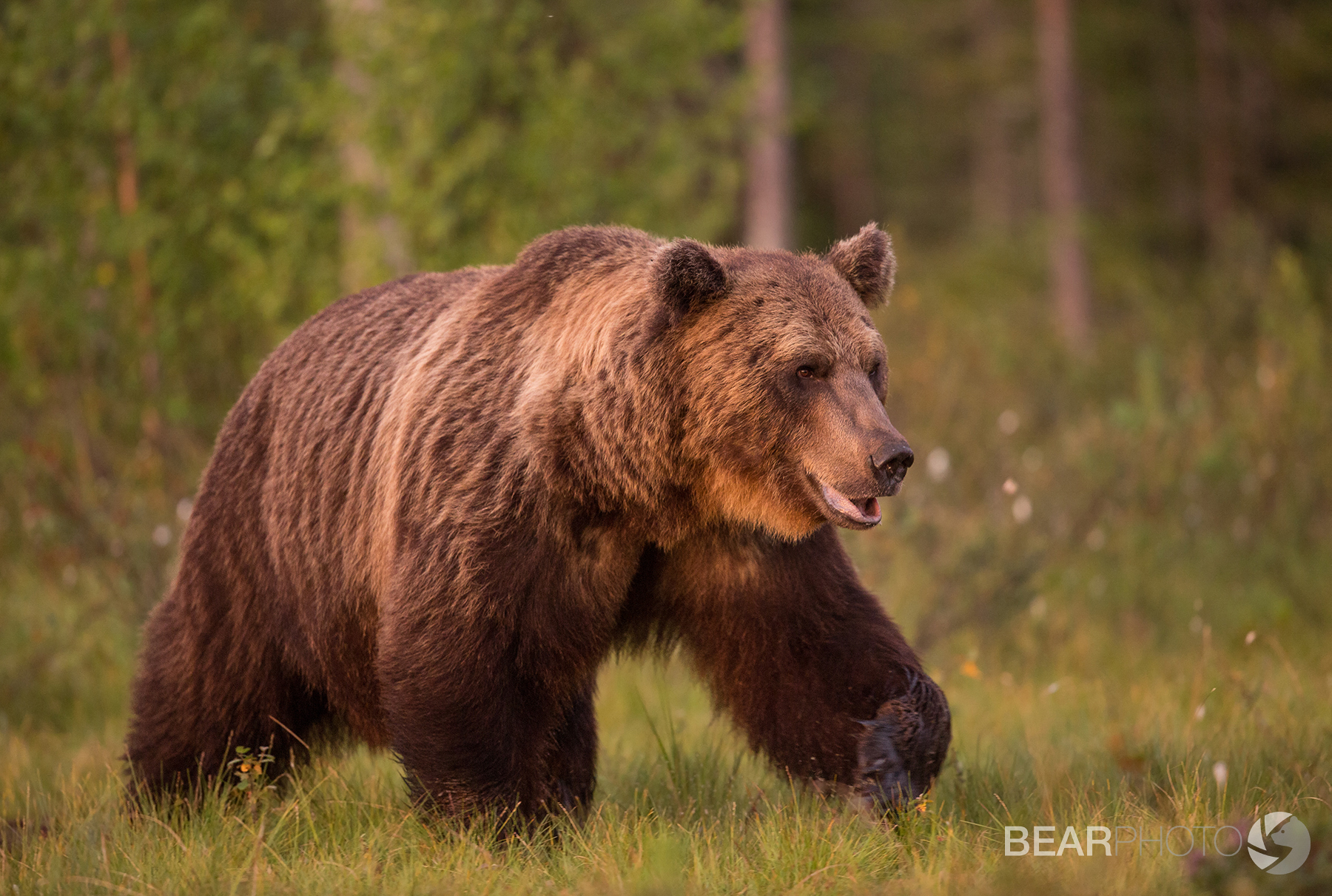 Male Brown Bear at sunset in midsummer.
