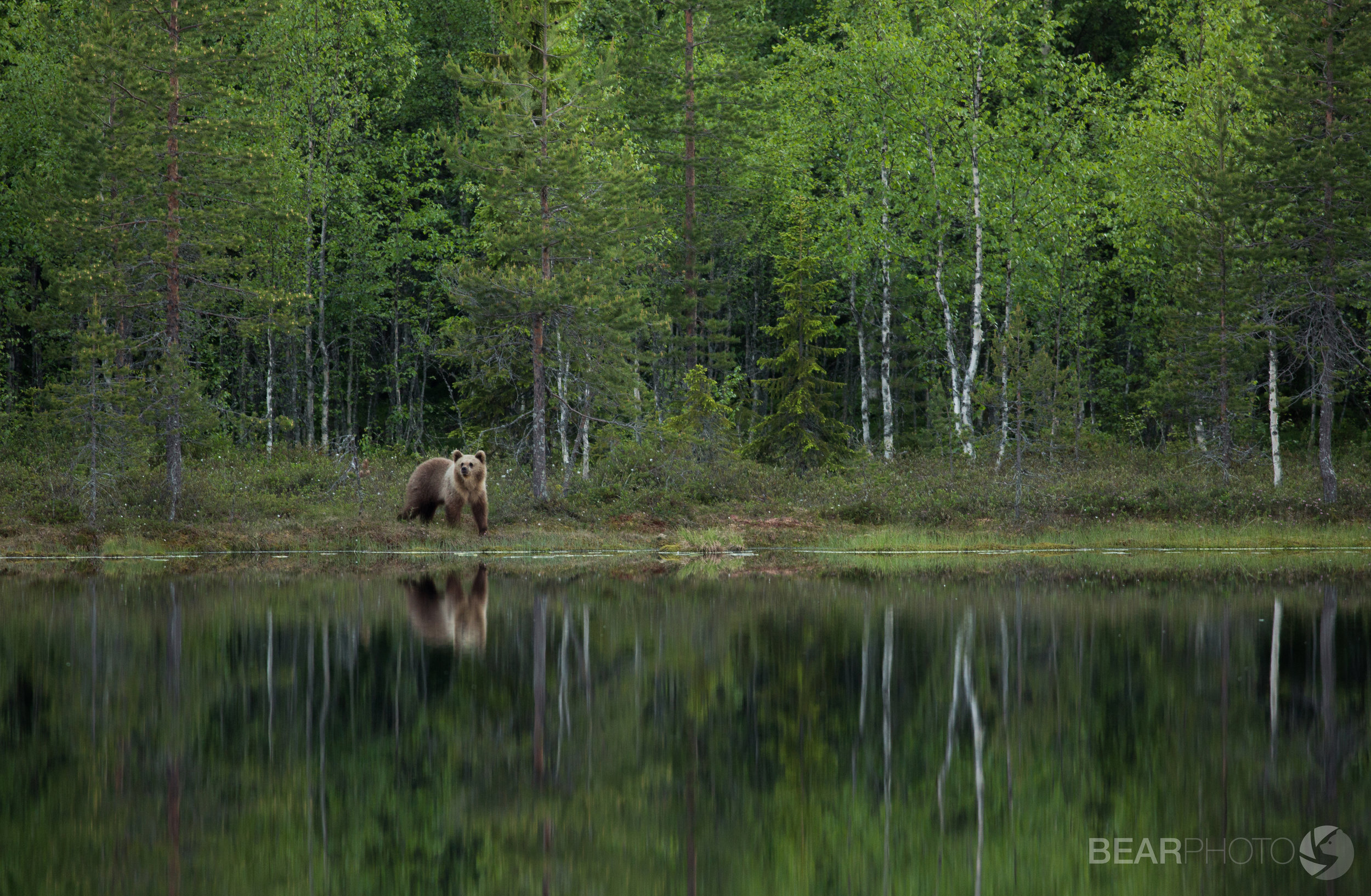 A pale female Brown Bear emerges from the forest edge on a calm evening, her shape reflected into the still water.