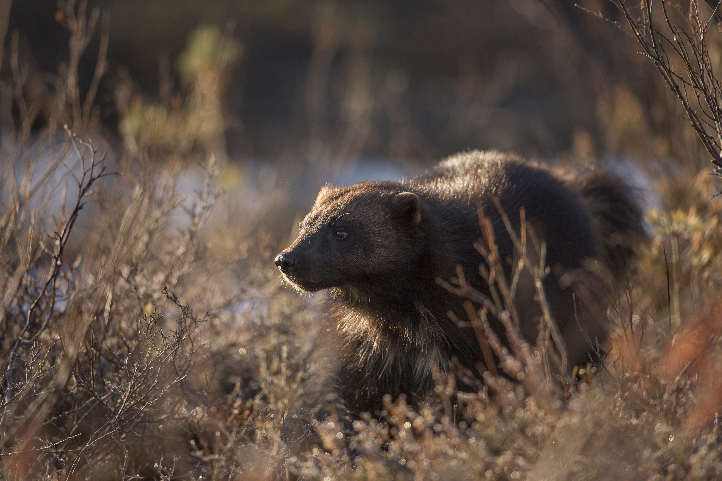 A close encounter with a Wolverine at sunrise near the northern lake.