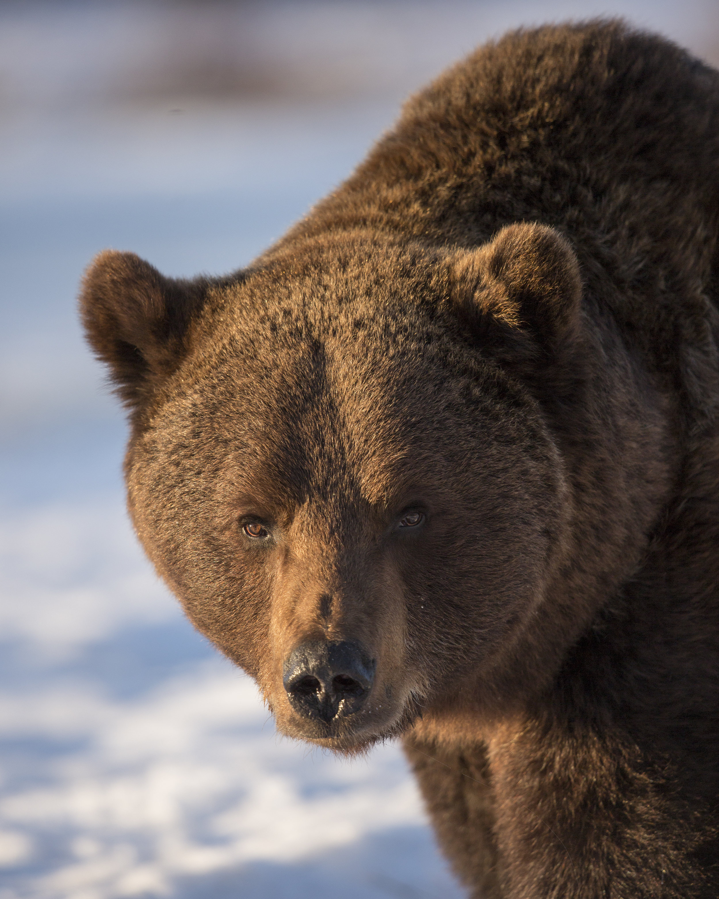 Evening light catches the side of this male Bears face.