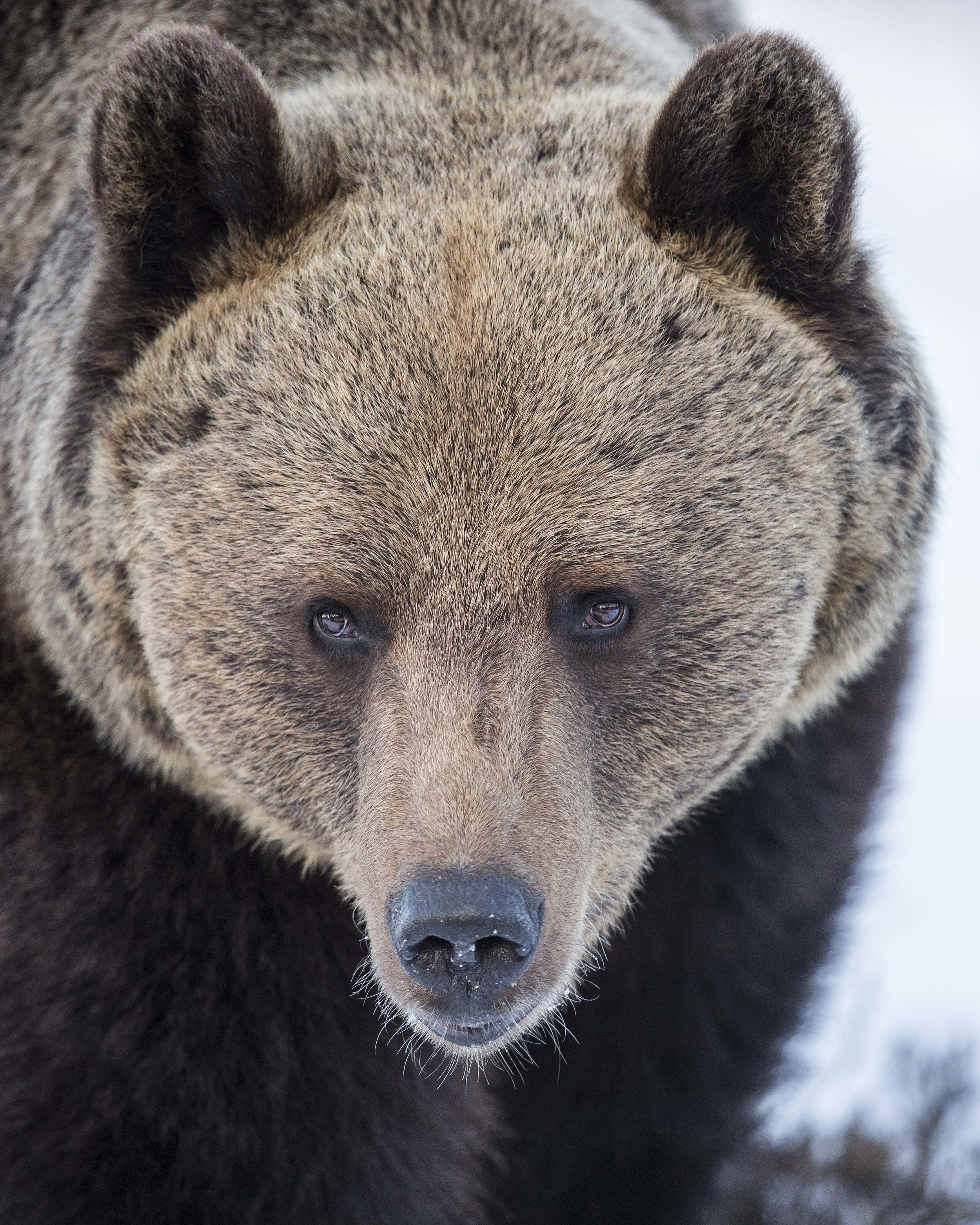 Male Brown Bear up close and personal!