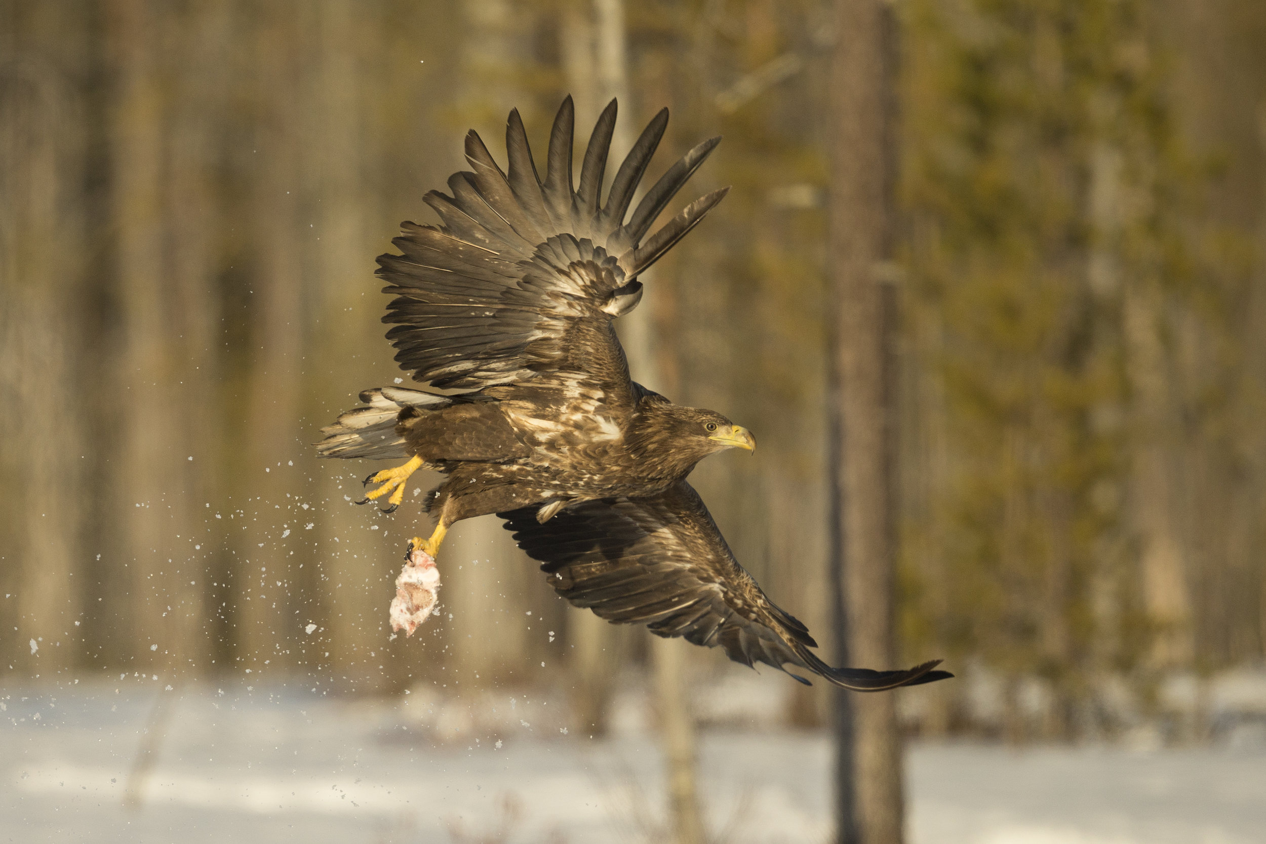A White-Tailed Eagle takes off from the frozen lake surface with a piece of meat.