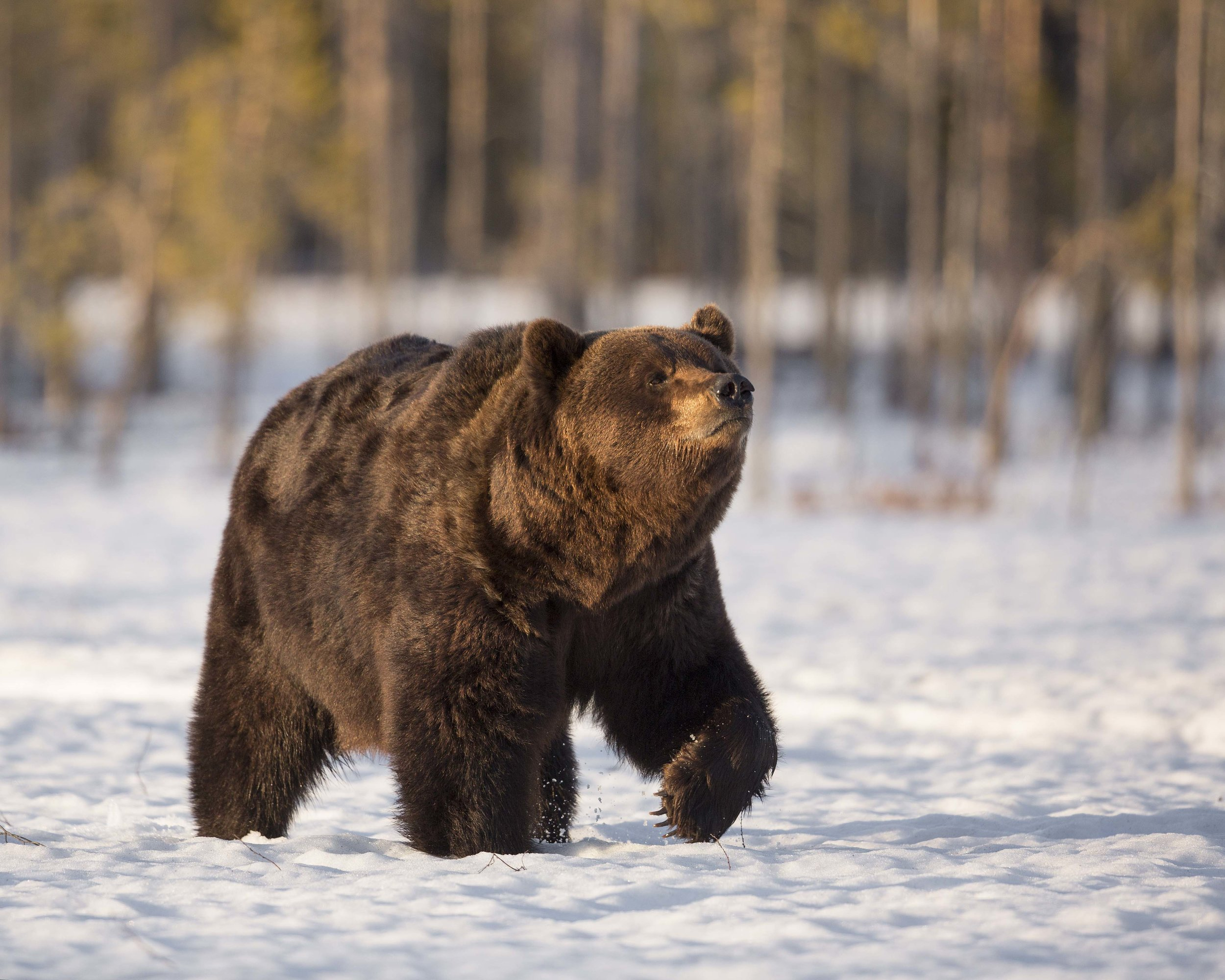 The large male bear smells the air in some lovely evening light.
