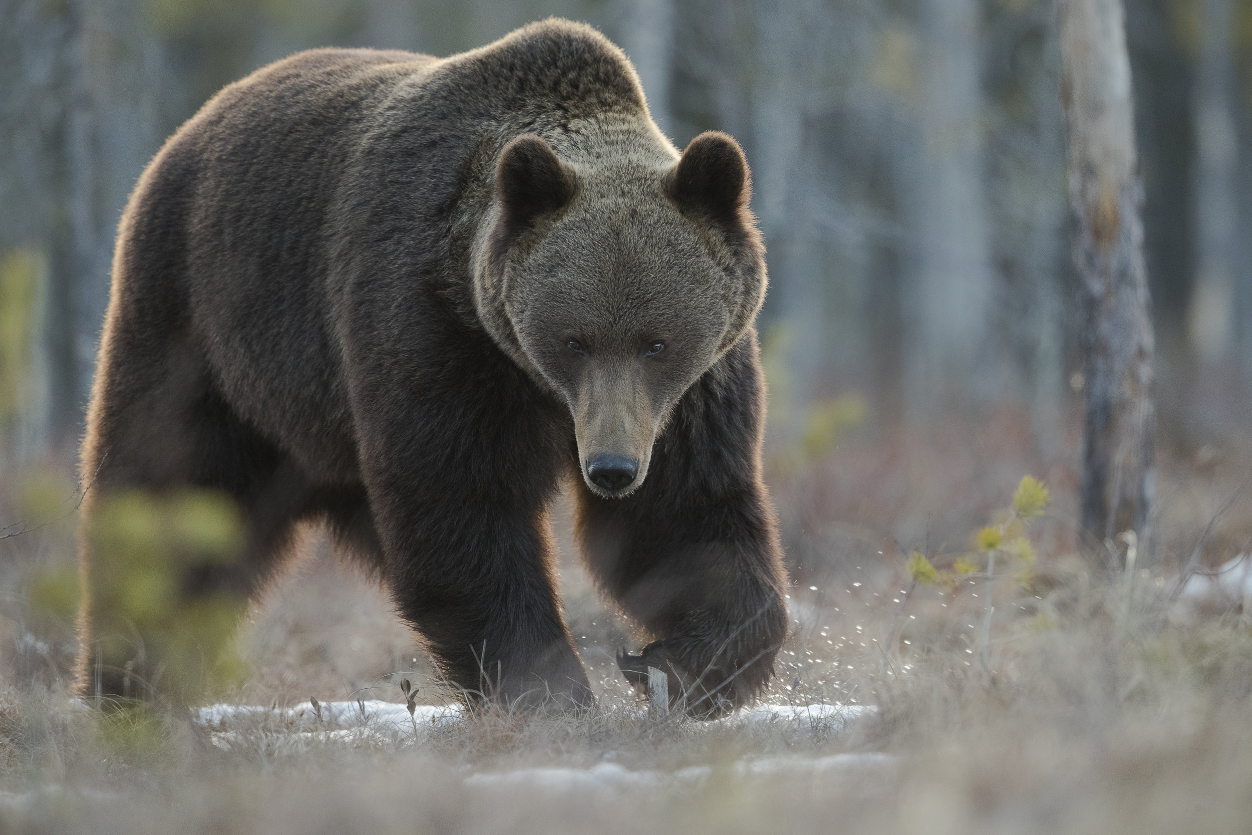 Softly back lit, this male Bear strolled close by to our hides at the east lake, as the snow had all but retreated.