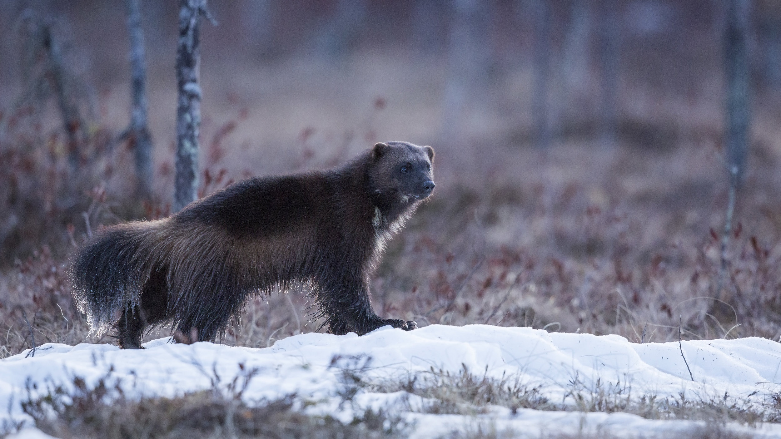 A Wolverine with an ice covered tail pauses momentarily at the East lake.