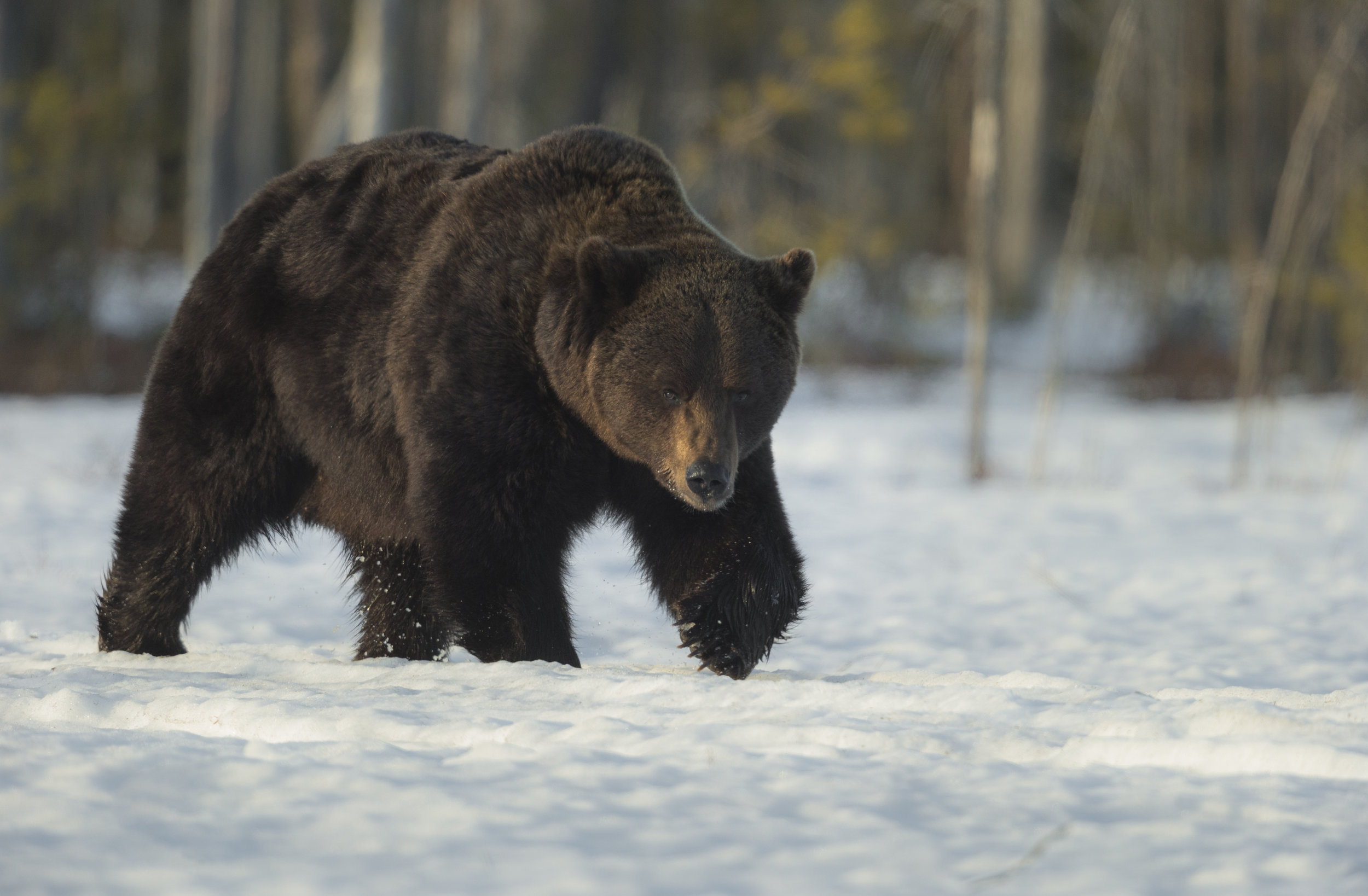 The large bold male Bear strolls determined, on a thin crust of snow.