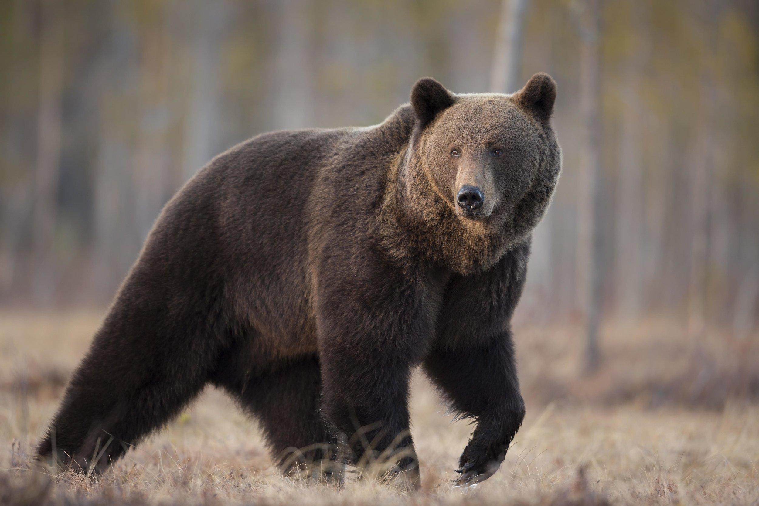 rsBrown_Bear_0T2A1109.jpg