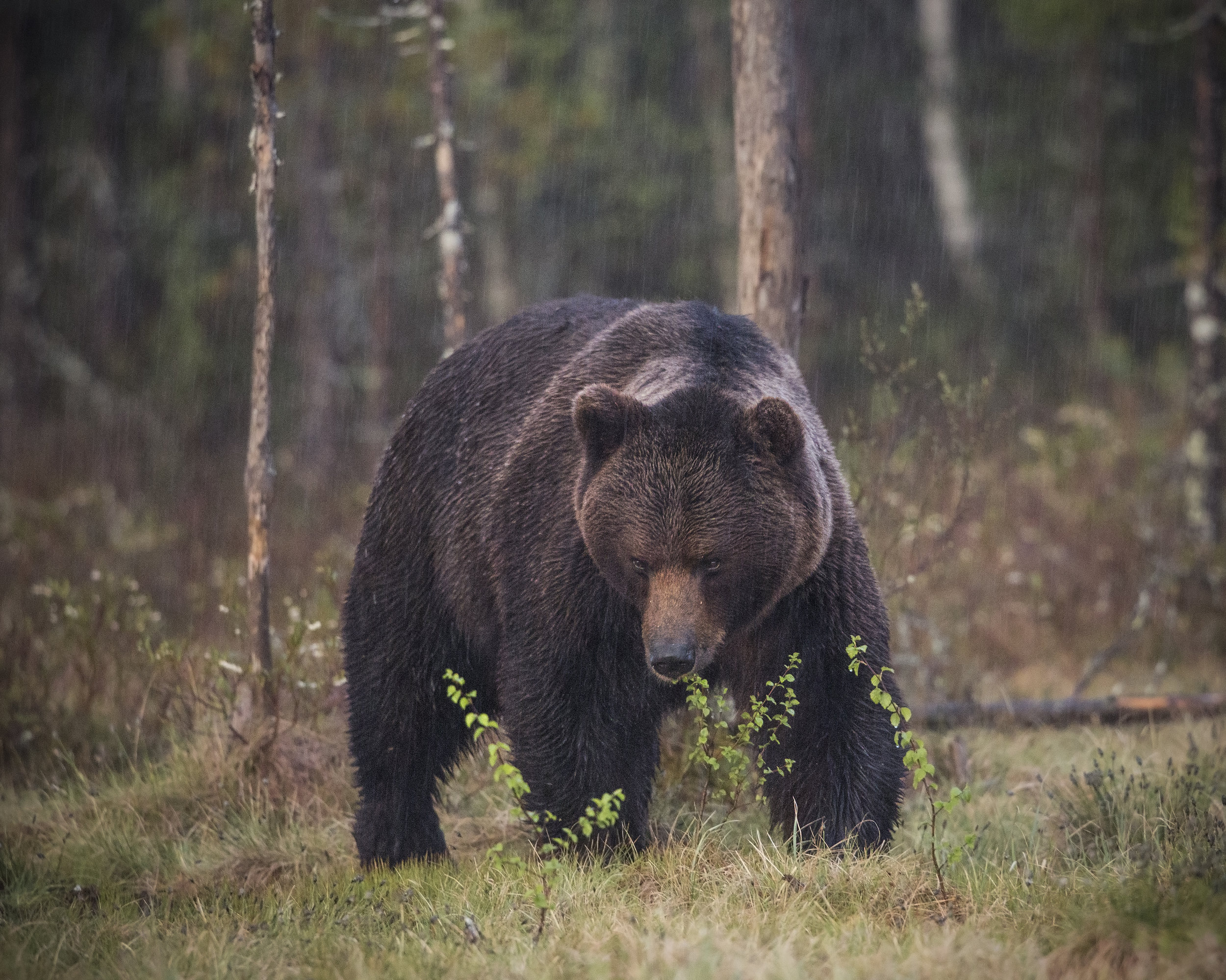 A male Brown Bear closely follows a female in a torrential downpour