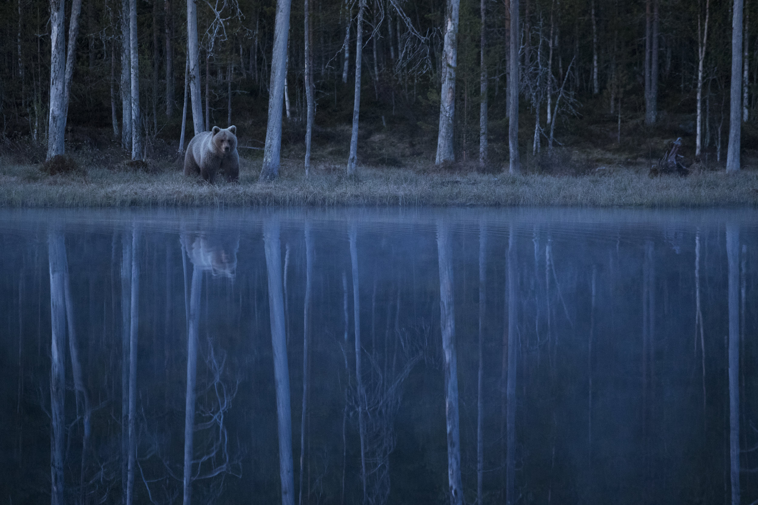 Ethereal light and ghostly mist - The pale female Bear 'Blondie' pauses next to the main lake.