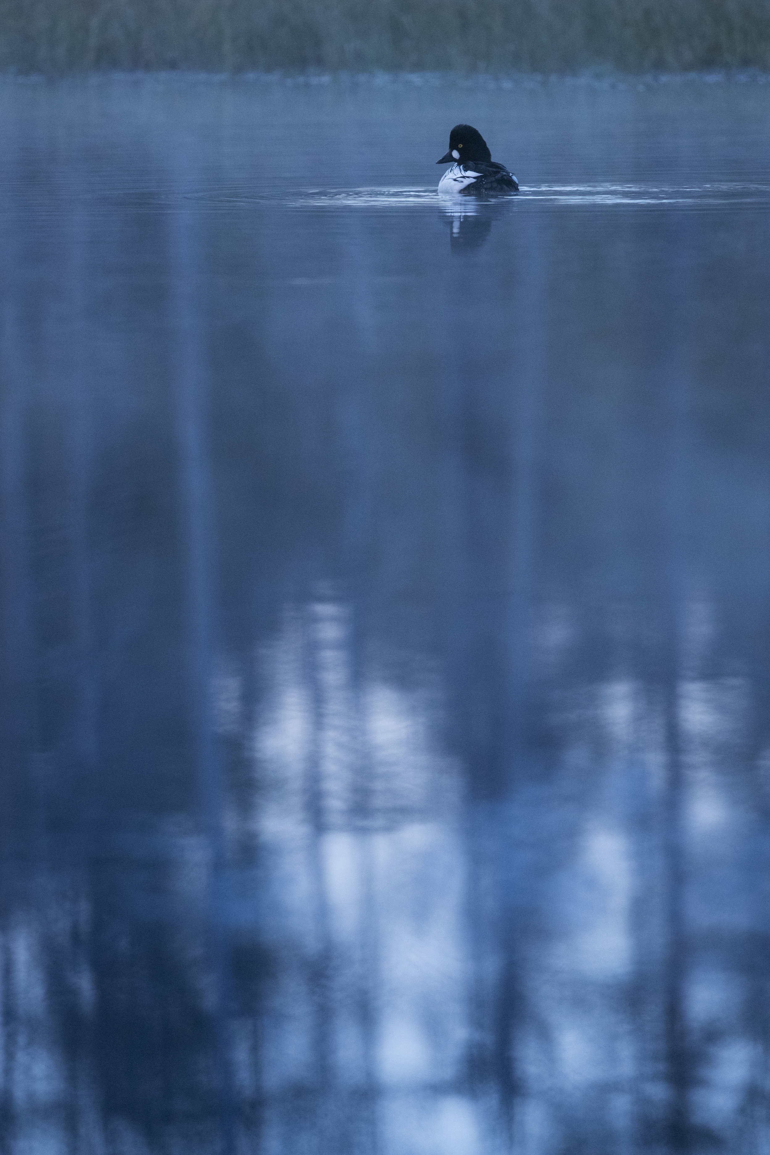 A male Goldeneye sits calmly on the lake, as mist slowly forms and darkness sets in.