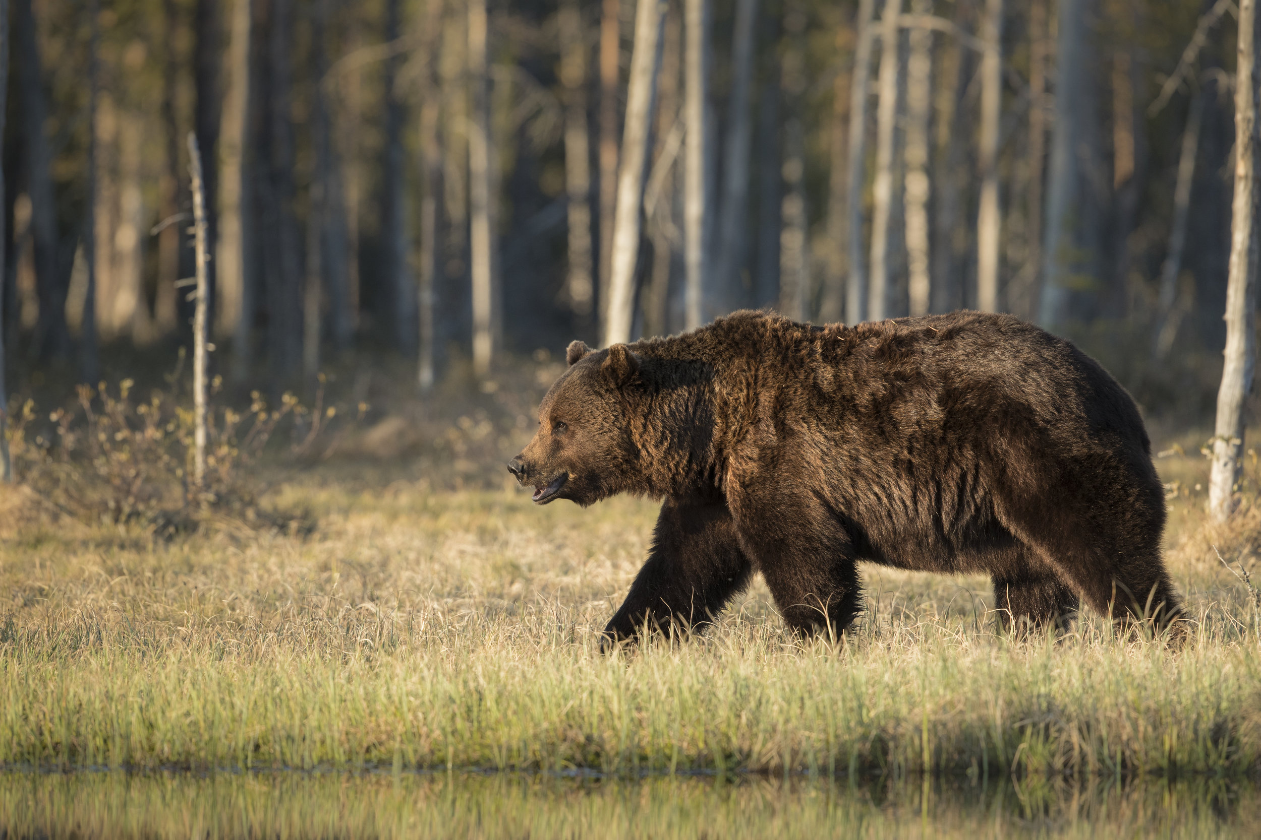 The large male Bear, follows an in heat female around the main pond, in nice afternoon light.