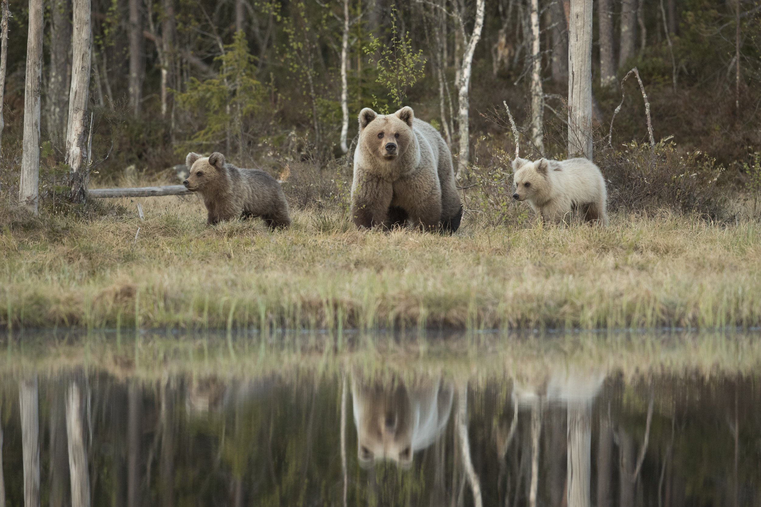 The mother bear and her 2 cubs venture out by the main pond, their reflections just visible in the water.