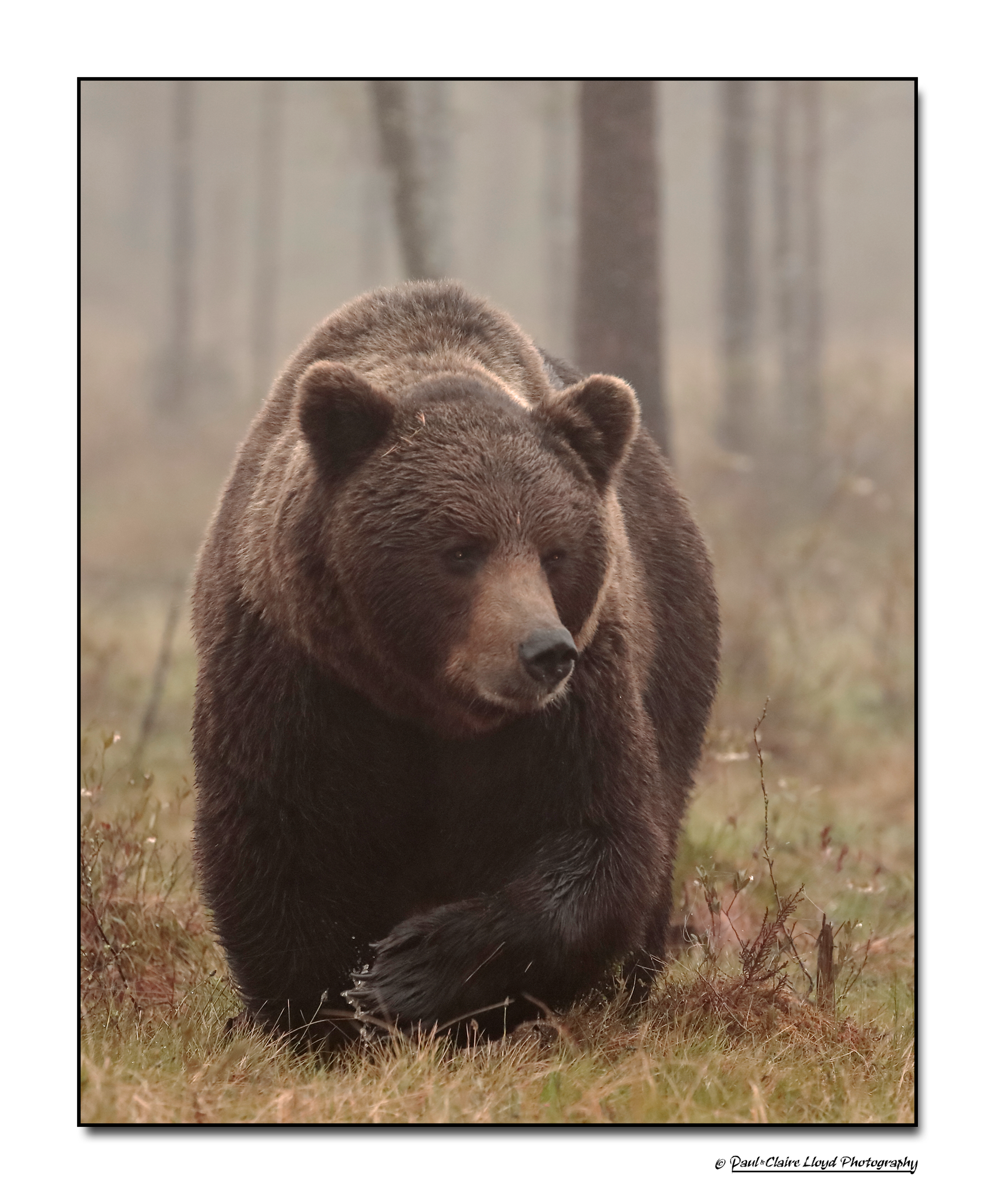 Big-Brown-Bear-ii.png