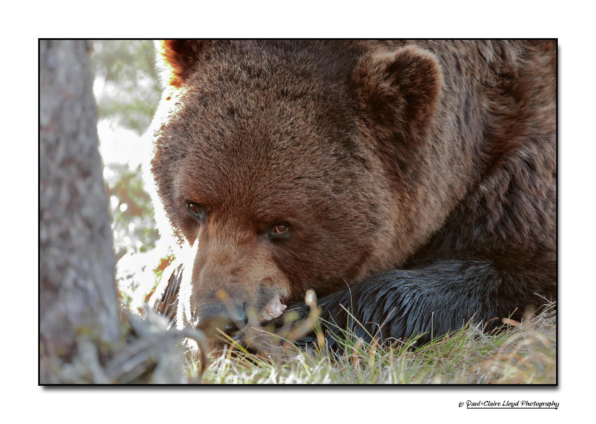 Big-Brown-Bear-i.png