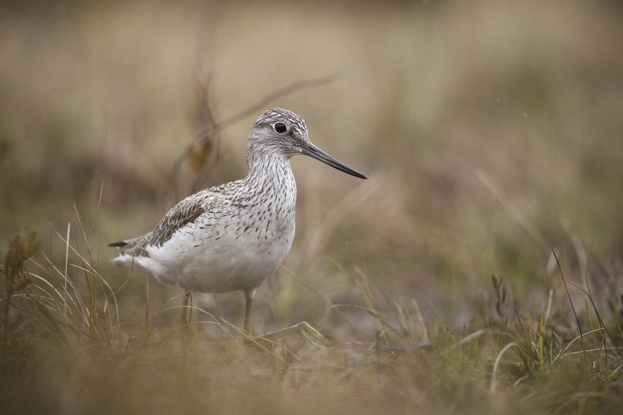 A showy Greenshank feeds busily, only a few feet infront of our hide.