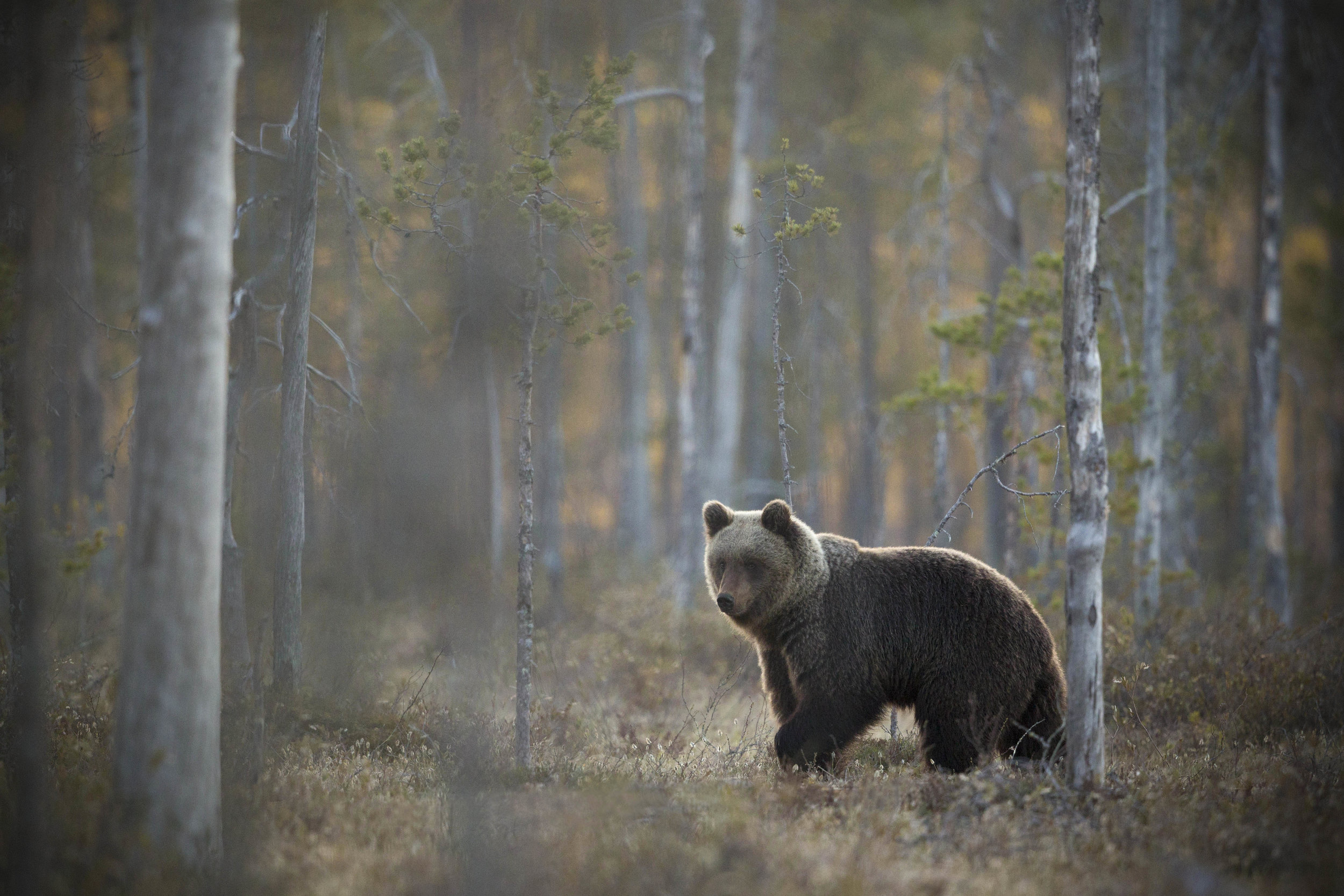 The male bear nicknamed 'Pointer', pauses infront of the skeleton trees at sunset.
