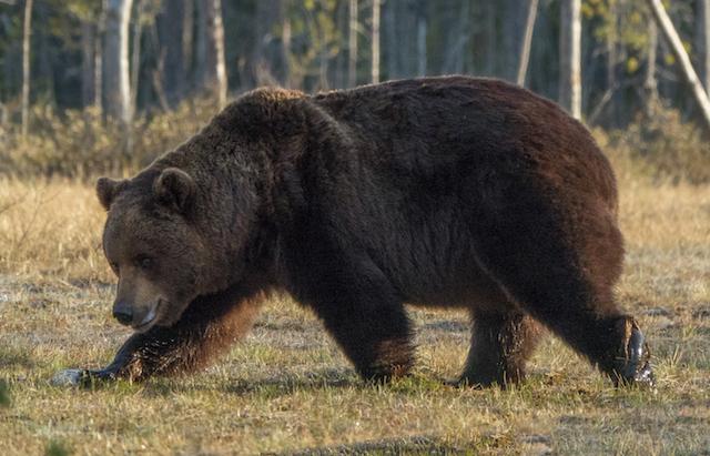 Bear_photo_big_male.jpg