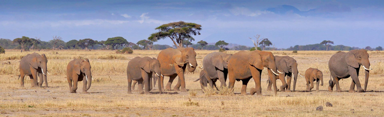 African Elephants by Mike Carroll