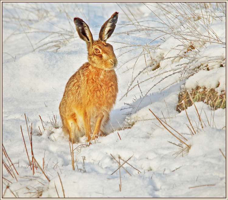 Brown Hare in Winter by Kelvin Smith
