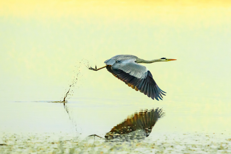 Grey Heron in Late Light by Barry Carter