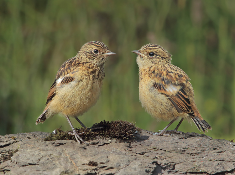 Juvenile Stonechats by Kelvin Smith