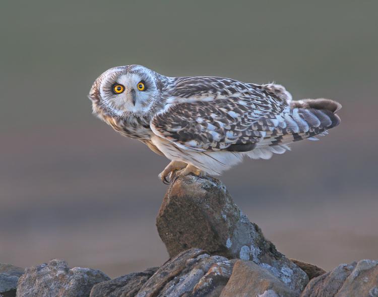 Short Eared Owl by Kelvin Smith