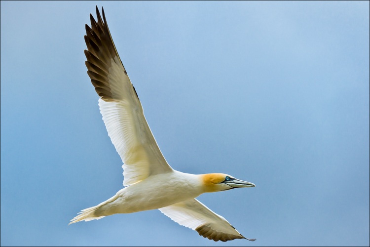 Northern Gannet in Flight by Eric Begbie