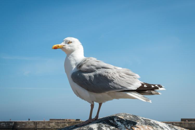 Whitby Herring Gull by Robert Steemson