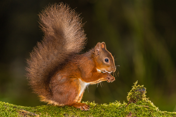 Red Squirrel at Hawes by Barry Carter