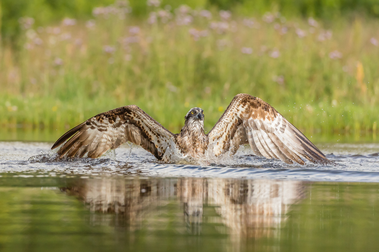 Osprey After a Dive by Barry Carter