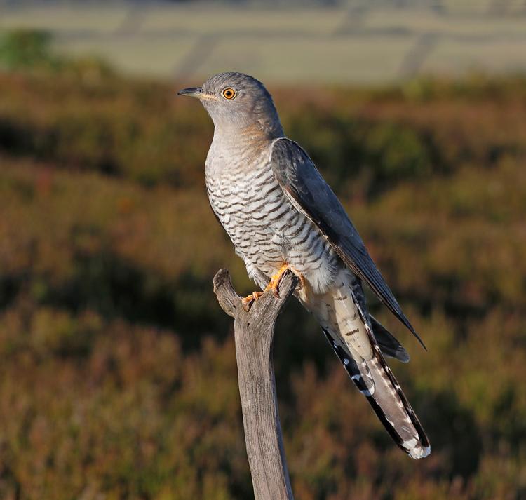 Female Cuckoo by Kelvin Smith