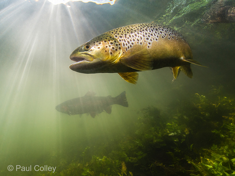 PaulColley_trout_800pxl.jpg