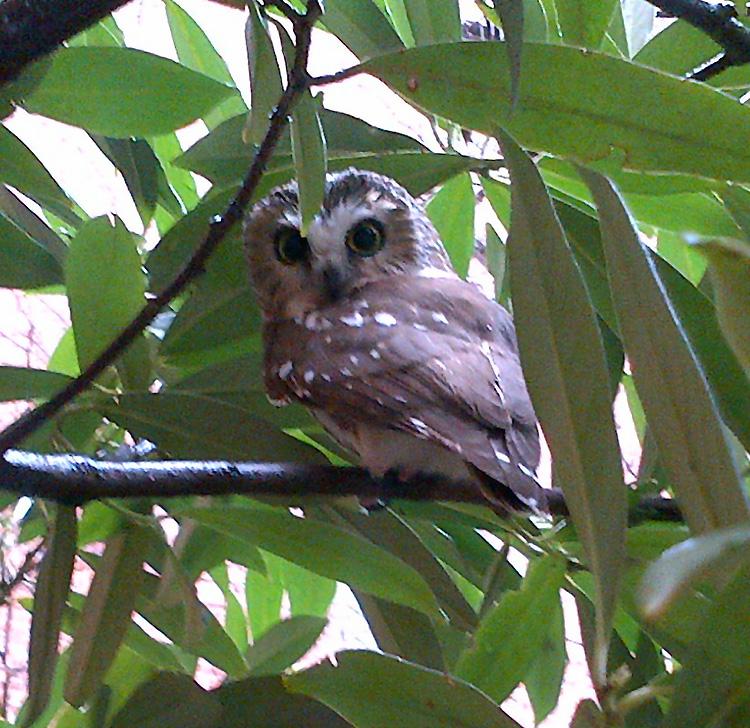 Saw-Whet-Owl.jpg