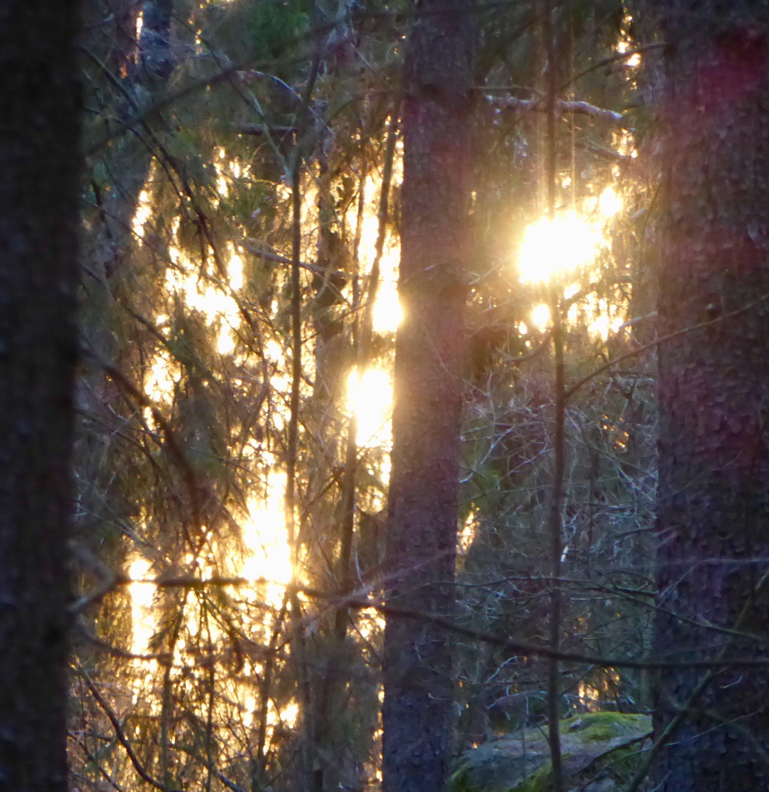 Kvällsljus i skogen. Foto: Jenny Rosen, Djurgårdens Ekolyx.