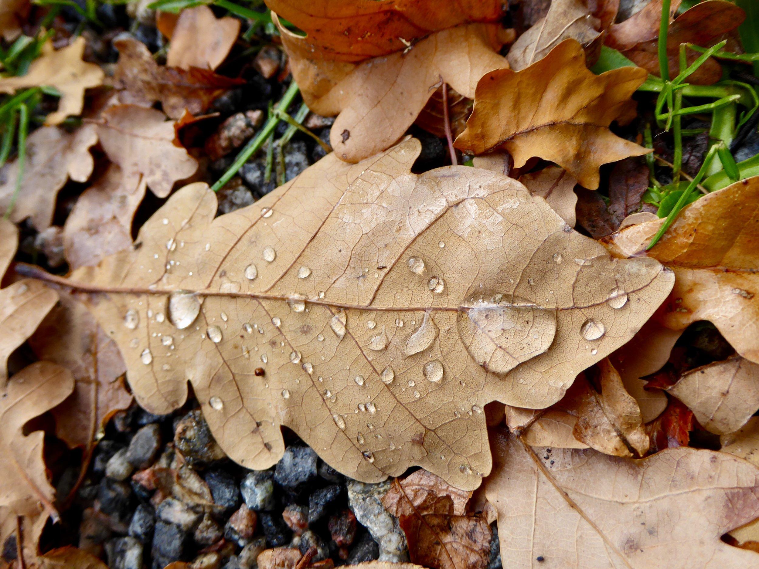 Eklöv höst, regndroppe. Foto: Jenny Rosen, Djurgårdens Ekolyx.