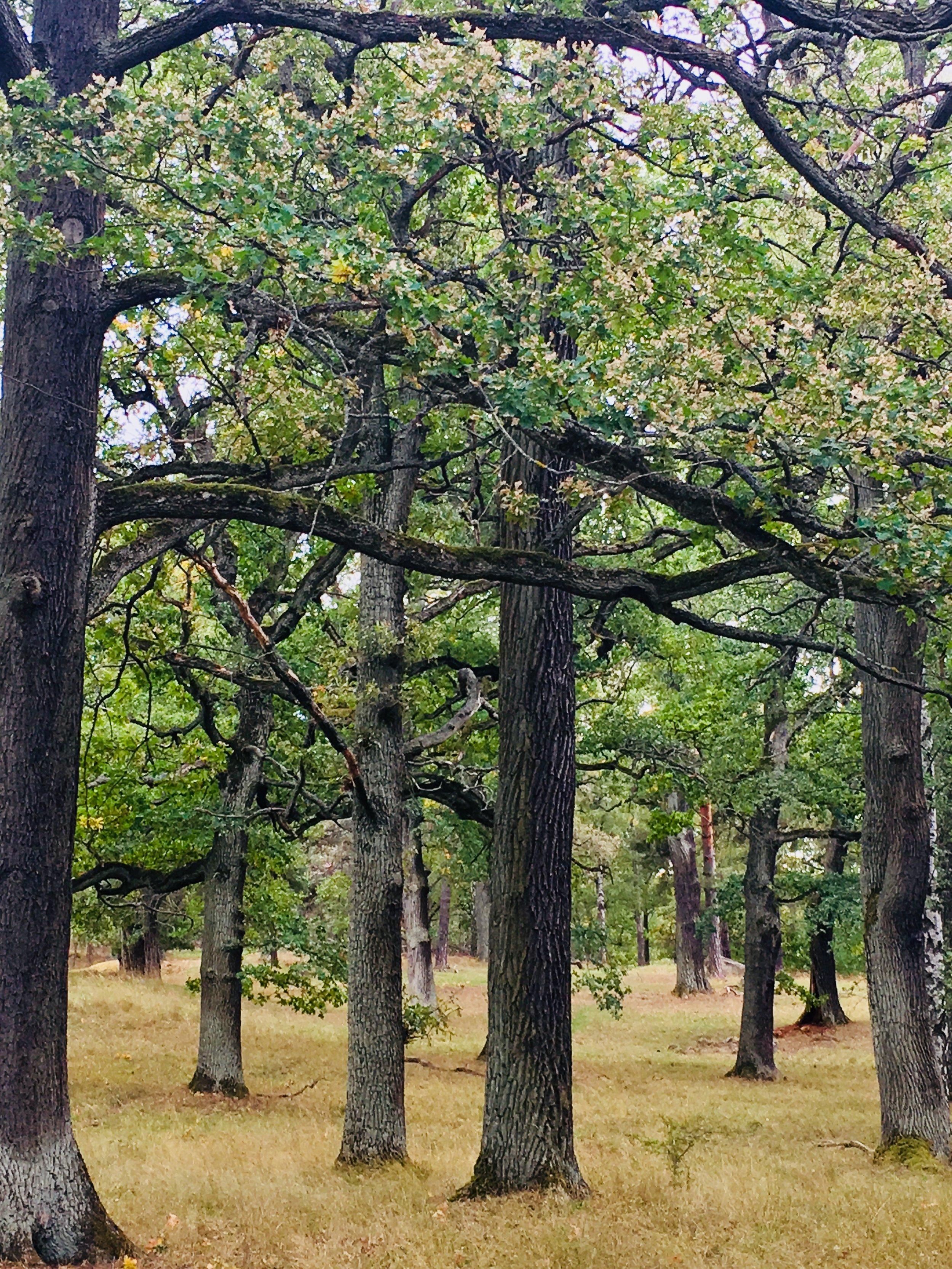 Oak trees on Royal Djurgården. Photo: Jenny Rosen, Djurgårdens Ekolyx.