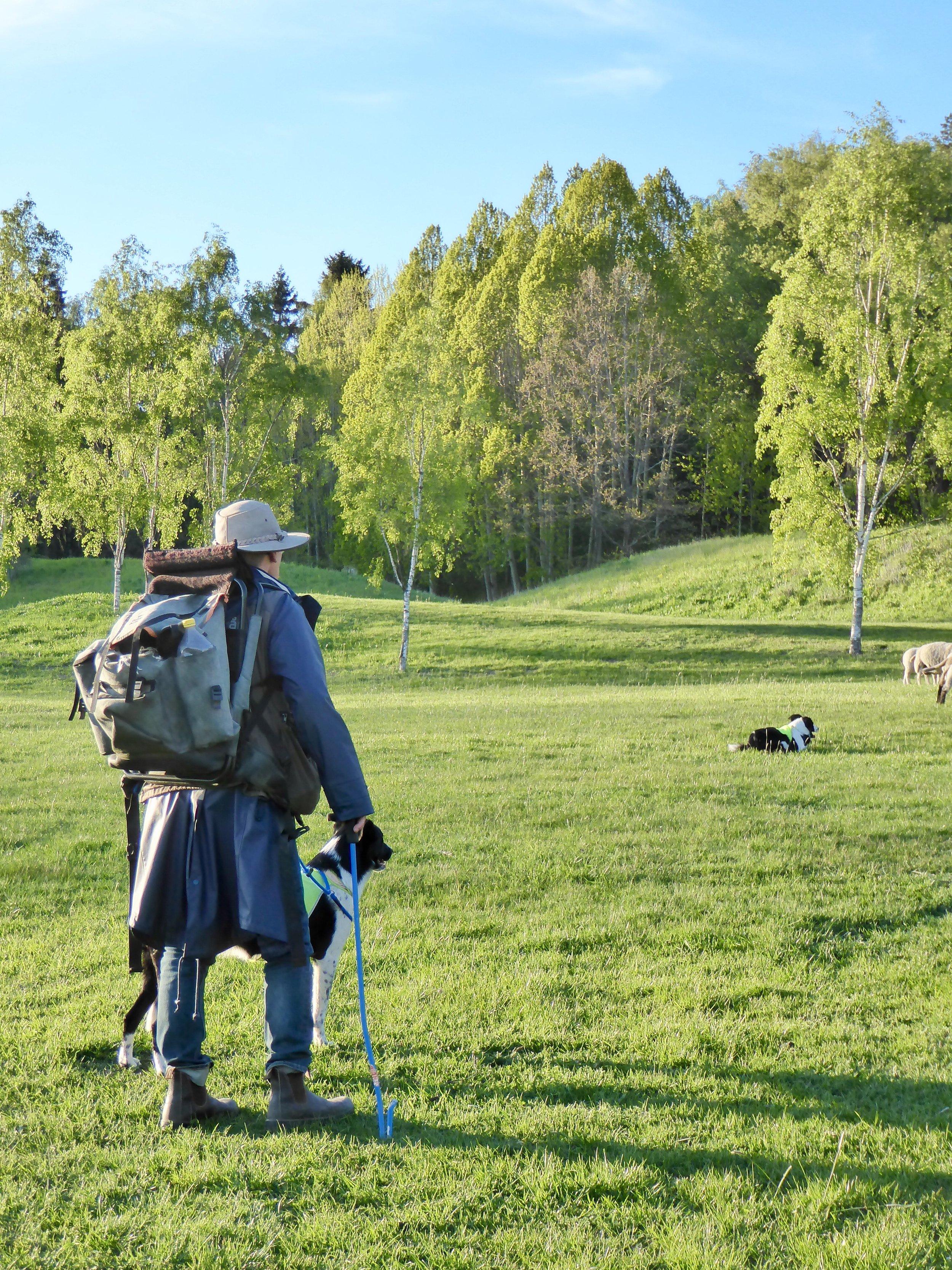 Fåraherde och hundar på Djurgården. Foto: Jenny Rosen, Djurgårdens Ekolyx.