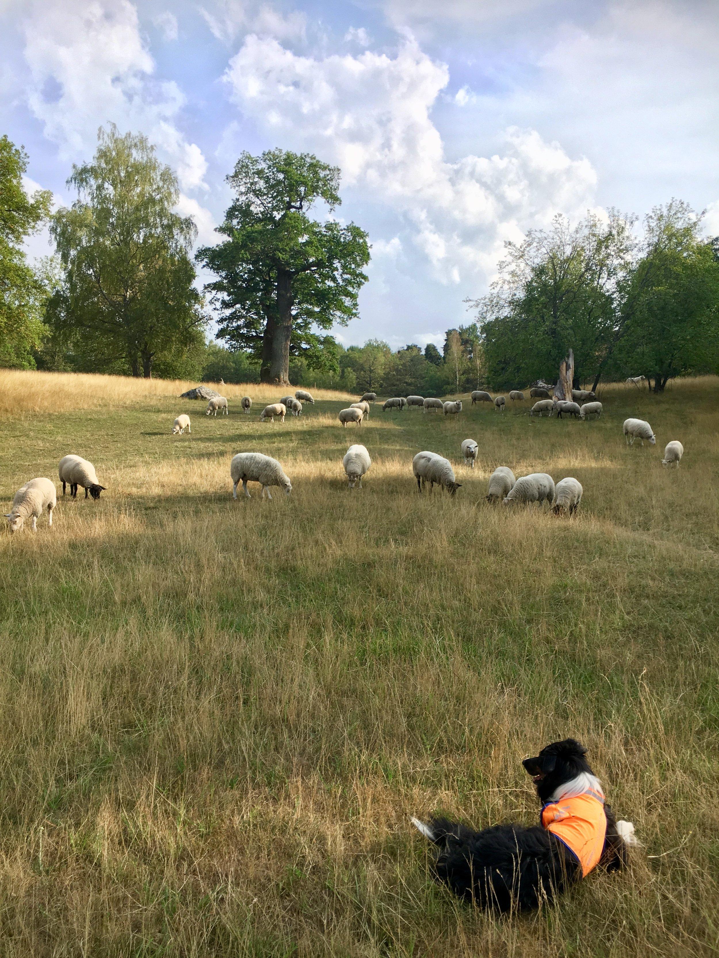 Vallhund med Kungens får. Foto: Jenny Rosen, Djurgårdens Ekolyx.