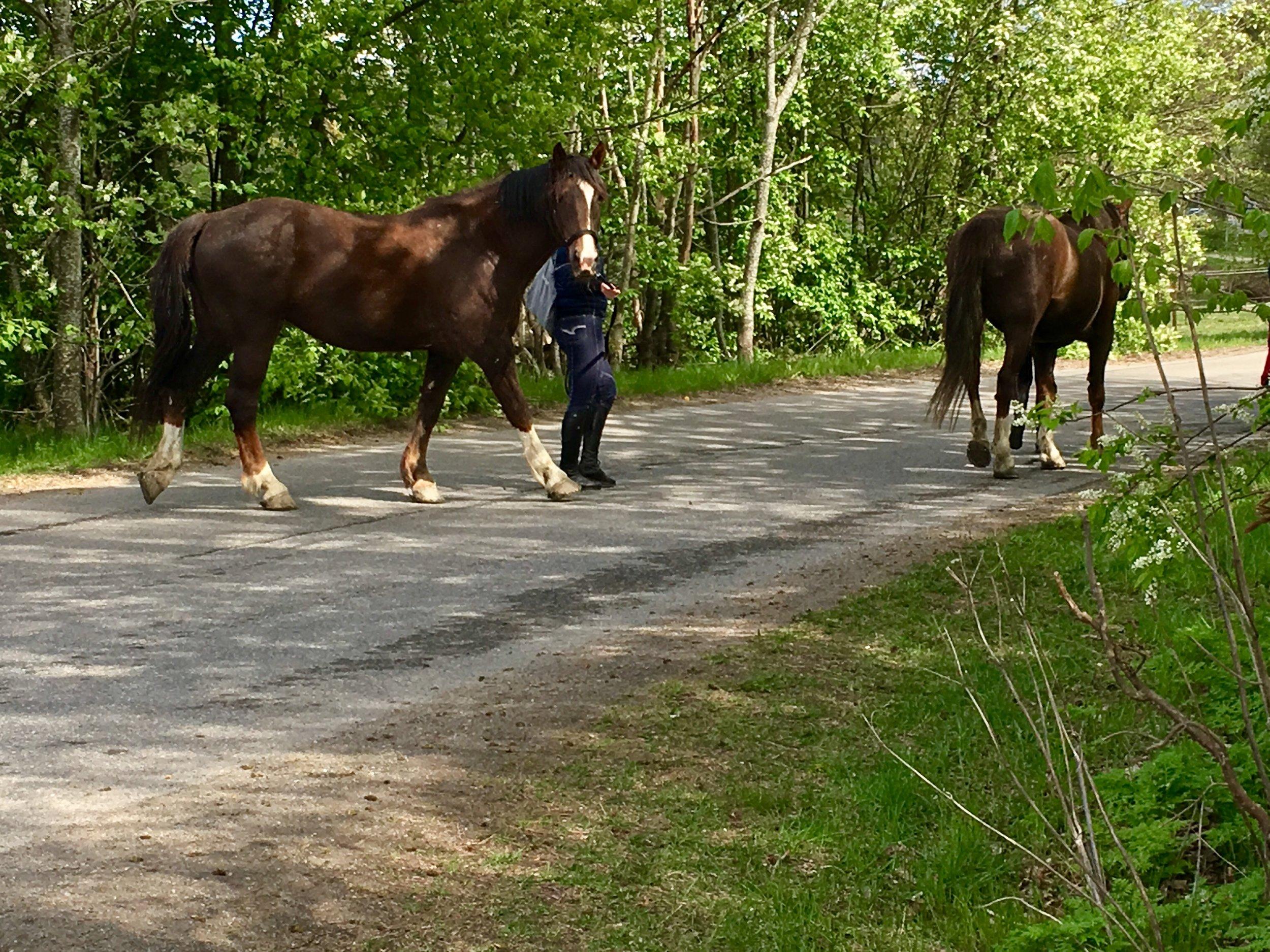 Torihästarna hämtas in från hagarna. Foto: Jenny Rosen, Djurgårdens Ekolyx.