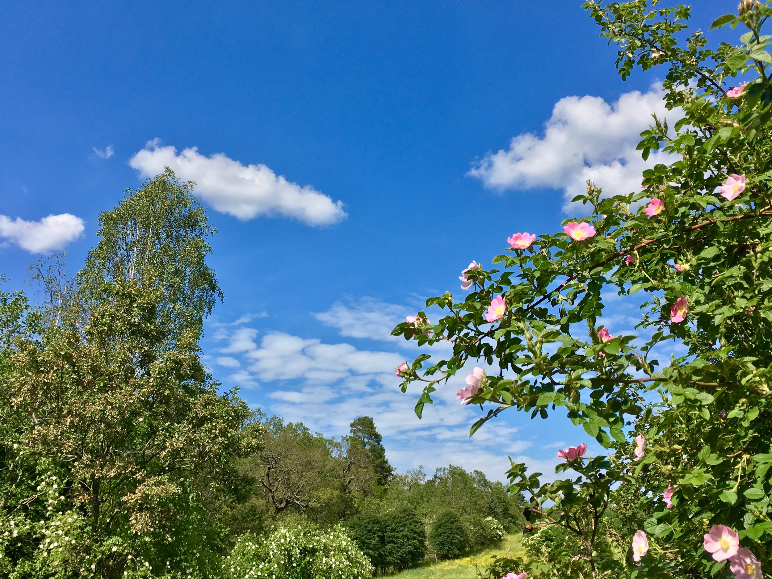 Blue skies and forest at Royal Djurgården. Photo: Jenny Rosen, Djurgårdens Ekolyx..