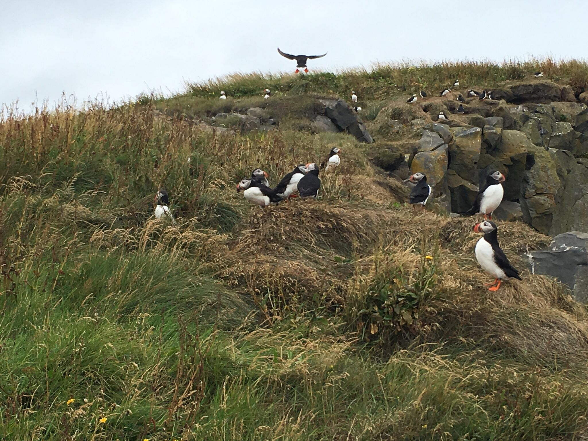 Objects in photo are smaller than they appear. Puffins are cutest feathered creatures you'll ever encounter.