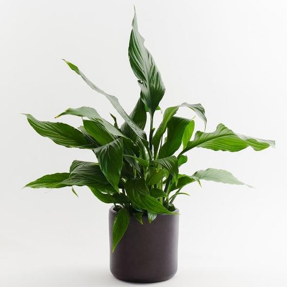SEATTLE PLANT SHOP:  Peace lily