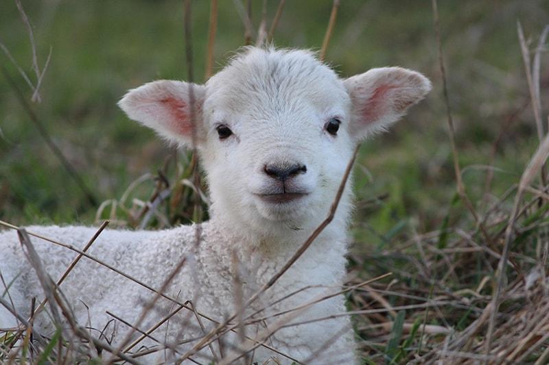 New Lamb   Australian Wiltshire Horn Sheepbreeders Association